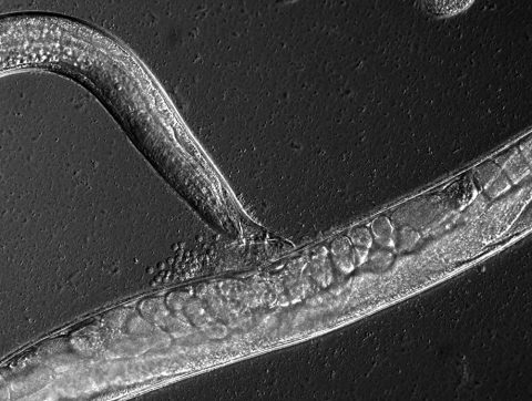 Genetic basis of sperm size in C. elegans: a role for the chromatin remodeling complex NURF-1